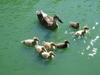 Duck_family